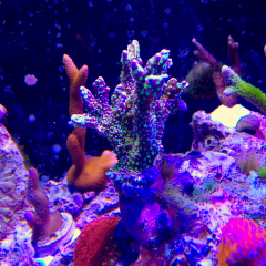 Lavender And Green Montipora